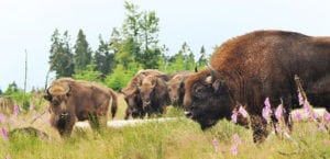 Bad Berleburg Bisons